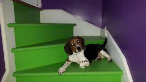 chiot Beagle pure race