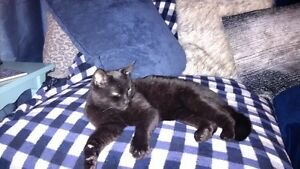 Beauty Black Cat, fully trained, pleasing personality