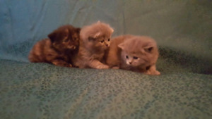 Himalayan kittens ready to go April 24 GRAY 1 MALE 1 FEMALE