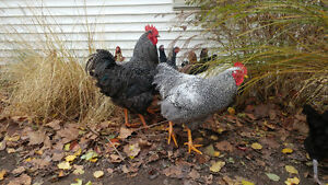 Cockerals Barred Plymouth Rock for sale