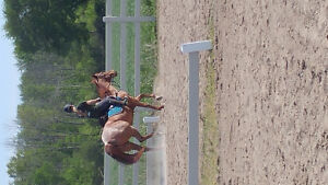 11 year old registered gelding for sale
