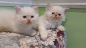 Doll faced Persian Himalayan kittens Blue eyes
