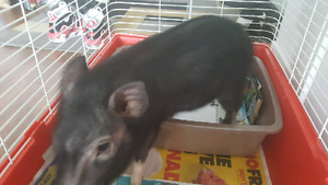 Micro pig for adoption