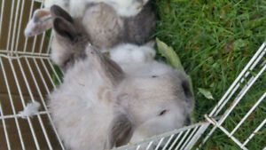 Bunnies for rehoming