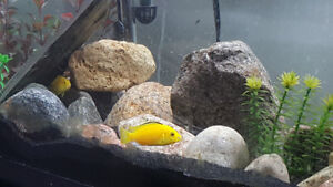 Group of 5 electric yellow cichlids!