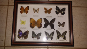 Real Butterflies archive.     $45