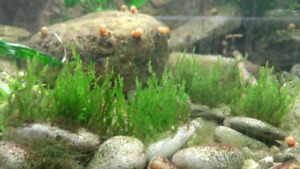 Aquarium plants - local Kingston
