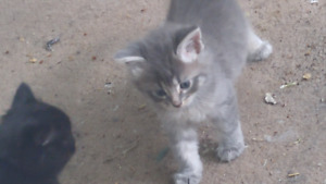 Adorable 8 week old kittens free to responsible loving new owner