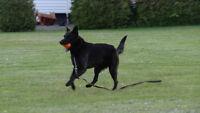 Superbe labrador croisé berger allemand noir