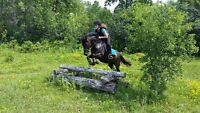 Fancy point and shoot Hunter Jumper large pony gelding