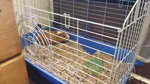 FREE guinea pig with food and cage