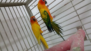 Young breeding pair of PIED SUN CONURES