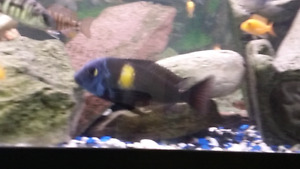 African cichlids and tropheus