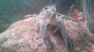 Various types of young crayfish for rehoming.