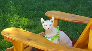 chat Sphynx ELF CAT