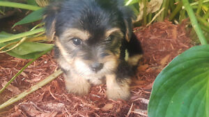 Beautiful little morkies for sale - à vendre