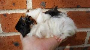 Baby Guinea pigs for sale ! --- Very Cute! Gordon Ku-ring-gai Area Preview