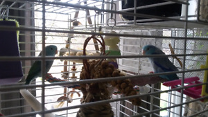 2 blue bonded parrolett and cage