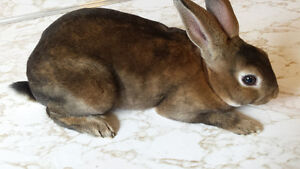 Purebred Mini Rex Buck