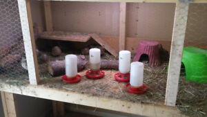 Complete setup for Quail keeping plus 10 Coturnix quails