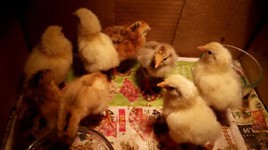 Baby chicks just born Aug 25