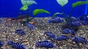 demasoni cichlid fish on special at T T PETS