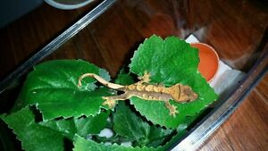 Crested Gecko from JP's Crested Crew St. John's Newfoundland image 5