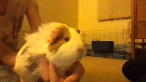 Two Free Guinea Pigs Looking For a Good Home