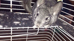 Chinchilla for sale to good owner