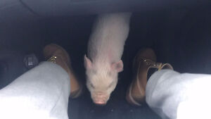 pot belly pig, just bought her but have to leave this country