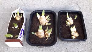 DUTCH IRIS PERENNIAL PLANTS