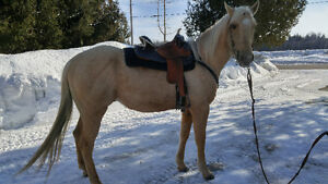 QH Palomino guilding 7 ans.