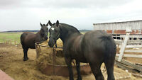 2 Black Perchon Horses