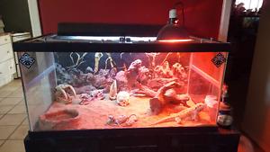 Bearded Dragon + habitat