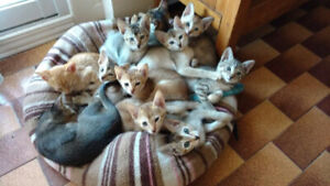 11 Chatons abyssin X Bengal