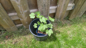 Red currant plant. Approximately 1 foot high.