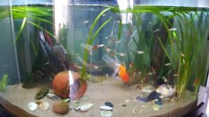 Guppies for Sale M/F $ 1.00 each