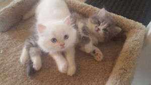 Beautiful doll face Persians just in time for Valentine's Day!
