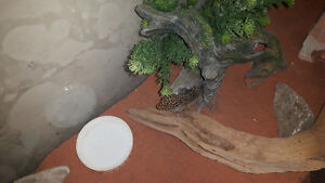 Custom Wood Stand, Glass Tank + 4 female Leopard Geckos and More Peterborough Peterborough Area image 5