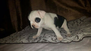 Frenchton PUPPIES - French Bulldog Male/Boston Terrier female Peterborough Peterborough Area image 3