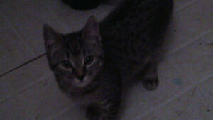 4 month old male tabby to give to good home