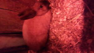 Urgent 6 beau petit lapin à donner doit partir West Island Greater Montréal image 1