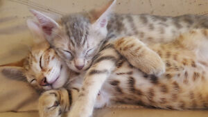 Baby Bengal Kittens 8 Weeks Old