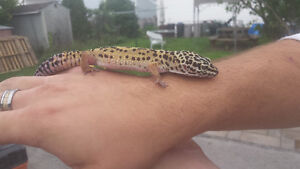 2 leopard geckos and everything needed Peterborough Peterborough Area image 3