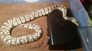 Fully grown adult male pastel ball python
