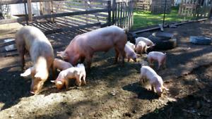 Free range piglets
