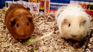 2 Guinea Pigs (male-1 year old) - Including all Accessories