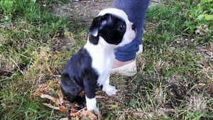 Beautiful Pure Breed Boston Terrier Puppies
