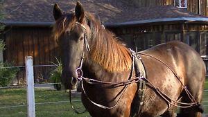 Magnifique Friesian Sport Horse West Island Greater Montréal image 6