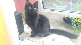 £250 Beautiful Black/Brown 5 month Boy Kitten